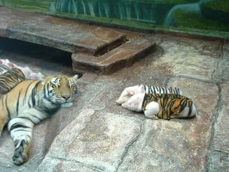 Grieving Mother Tiger Caring for Piglets in Tiger Skins- Fiction!