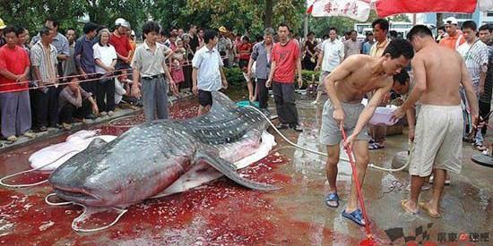 Man Eating Catfish from China-Fiction!