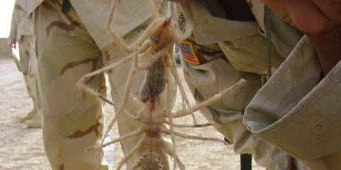 Camel spiders in the gulf-Truth!