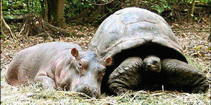 The baby hippo and the tortoise who became friends after the tsunami-Truth!