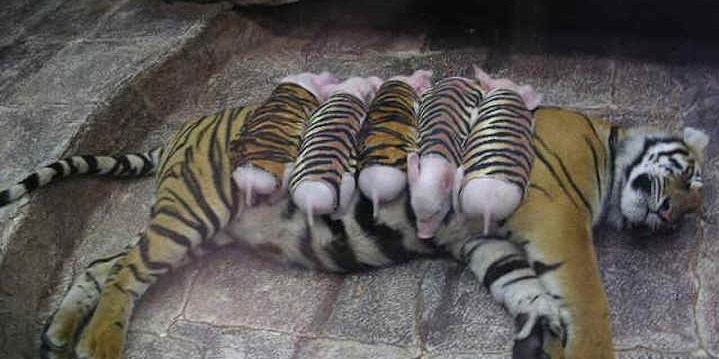 baby pigs adopted by grieving mother tiger fiction truth or fiction