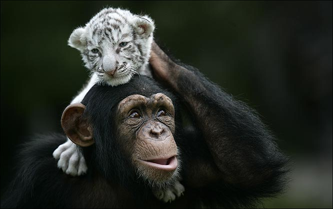 Chimpanzee mothering tiger cubs truth for Did congress approve killing hibernating bears