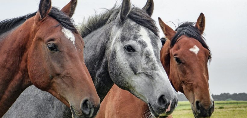 Three horses looking at the camera.