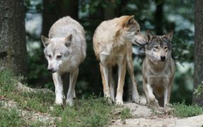 A family of timber wolves.