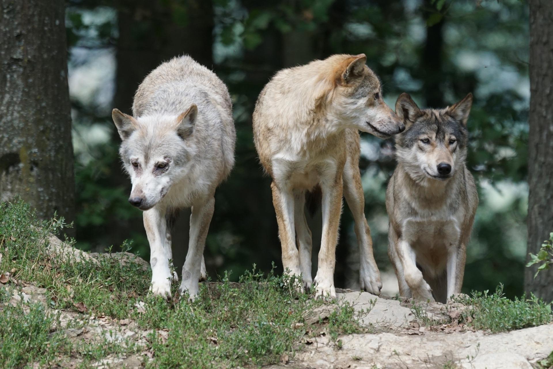 Photograph Of A Wolf Pack Explains Alpha Behavior Truth Or