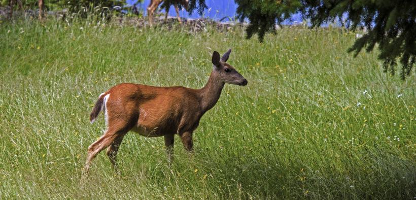 Wild deer in tall grass.