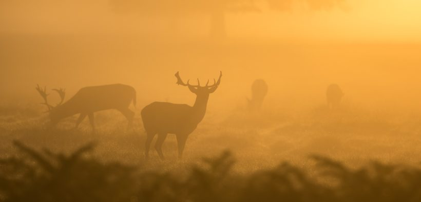 Deer silhouettes during a hazy morning.
