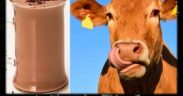 chocolate-milk-brown-cows