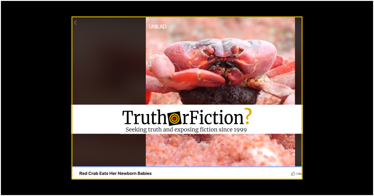 does a viral video depict a crab eating her babies