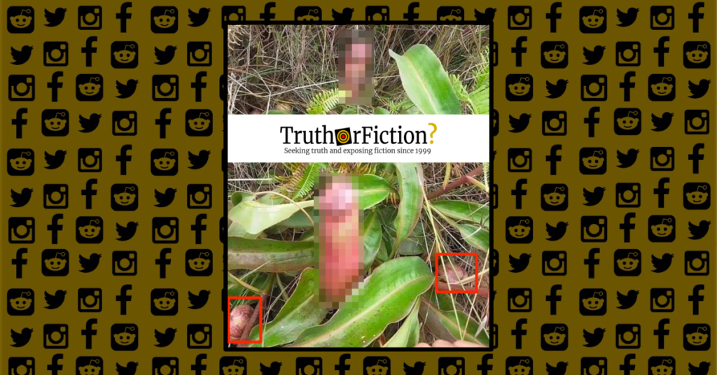 Pitcher Plant or 'Penis Flytrap' - Truth or Fiction?