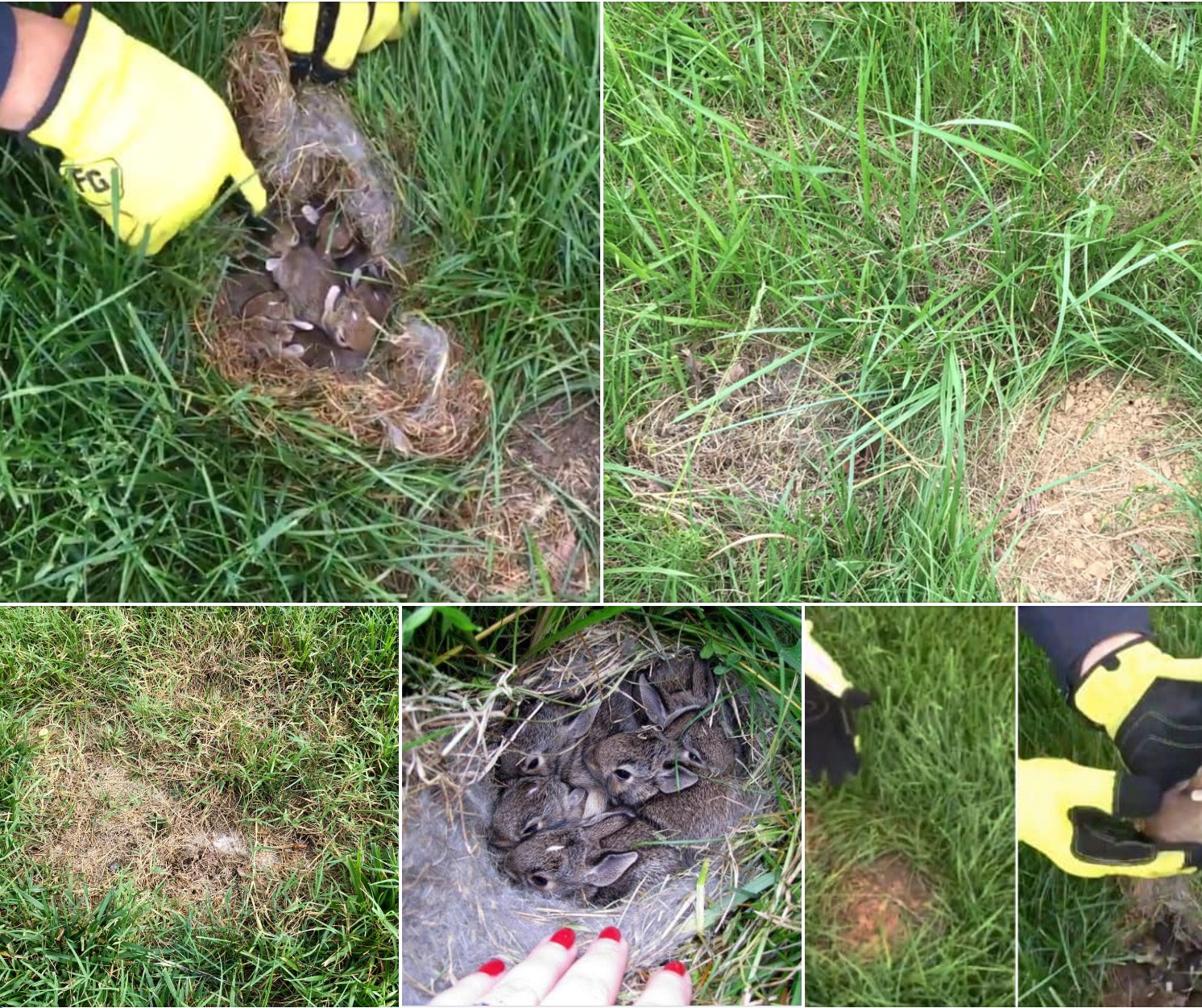 bunny nests PSA spring summer mowing