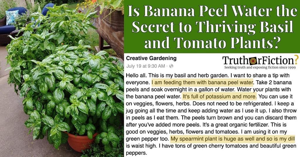 Banana Peel Water for Plants